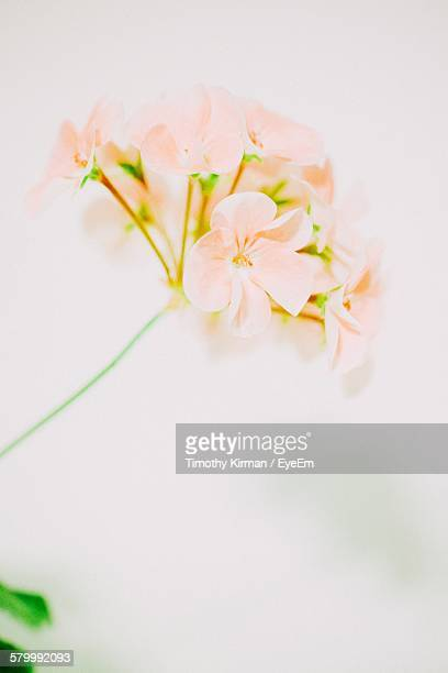 Close-Up Of Fresh Geranium Flower Blooming Against White Background
