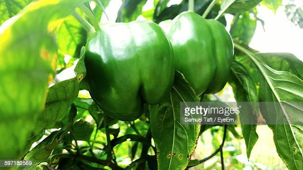 close-up of fresh green bell peppers - green bell pepper stock pictures, royalty-free photos & images