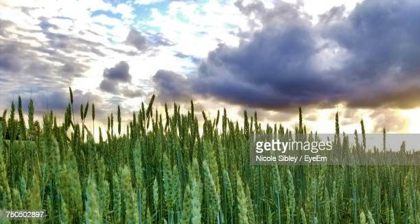 close-up of fresh green field against sky - sibley stock photos and pictures
