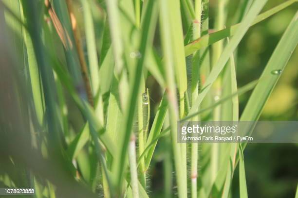 close-up of fresh green grass in field - east java province stock pictures, royalty-free photos & images