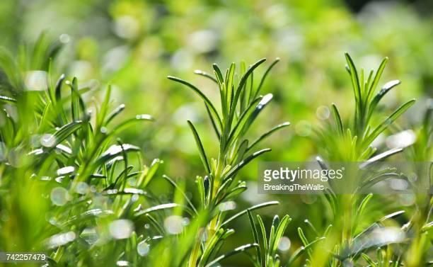 close-up of fresh green herbs - ローズマリー ストックフォトと画像
