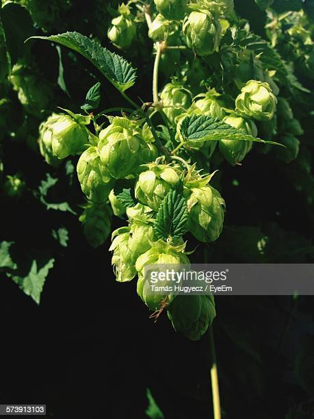 Close-Up Of Fresh Green Hops