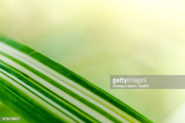 close-up of fresh green leaf - chanayut stock photos and pictures