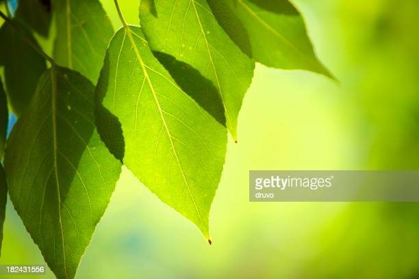 Nahaufnahme von frischen green leafs