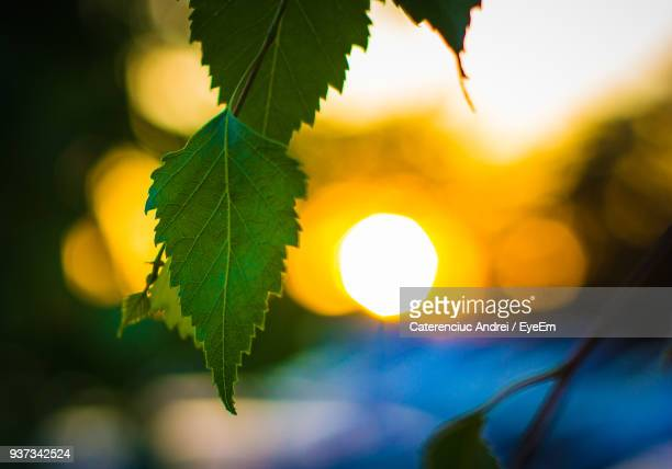 Close-Up Of Fresh Green Leaves Against Sky During Sunset