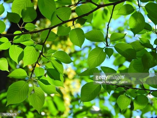 Close-Up Of Fresh Green Leaves On Tree