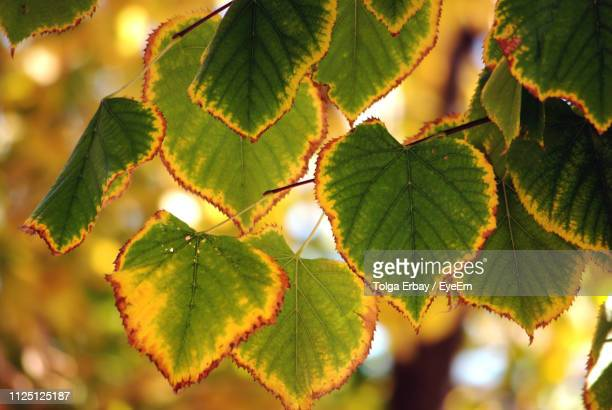 close-up of fresh green leaves - tolga erbay stock photos and pictures