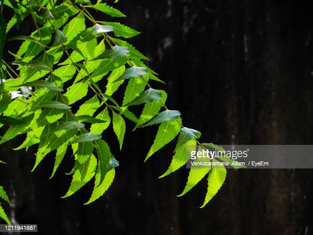 close-up of fresh green neem leaves - neem tree stock pictures, royalty-free photos & images