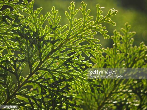 close-up of fresh green plant - cypress tree stock pictures, royalty-free photos & images