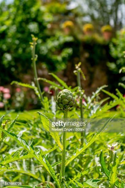 close-up of fresh green plant,grenada - norbert zingel stock-fotos und bilder