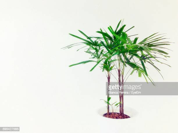 Close-Up Of Fresh Green Potted Plant Against White Background