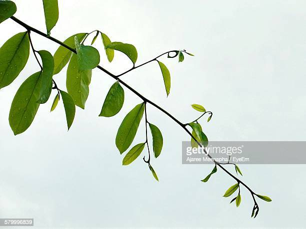 Close-Up Of Fresh Green Twig With Water Drops Against White Background