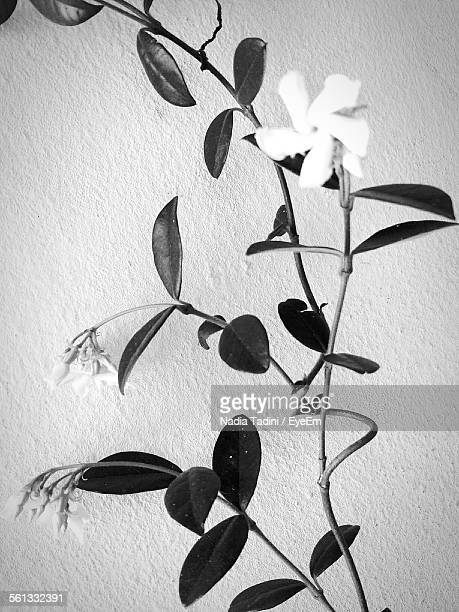 Close-Up Of Fresh Jasmine Flower Against Wall