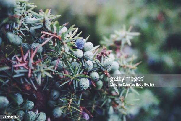 Close-Up Of Fresh Juniper Berries Twigs