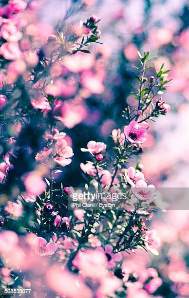 close-up of fresh manuka blooming in park - manuka stock photos and pictures