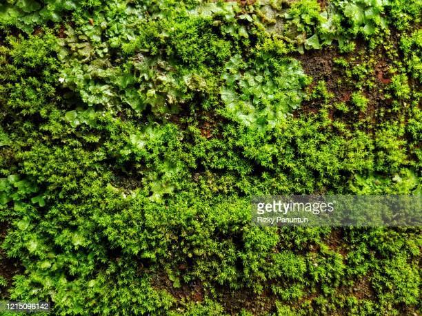 close-up of fresh moss on the wall - コケ ストックフォトと画像