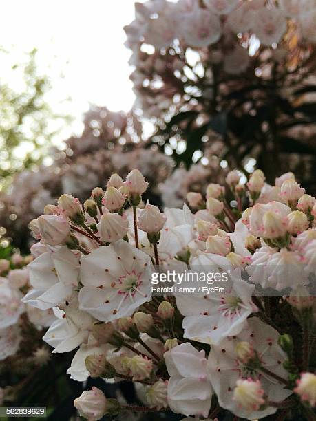 close-up of fresh mountain laurel bunch in garden - mountain laurel stock pictures, royalty-free photos & images