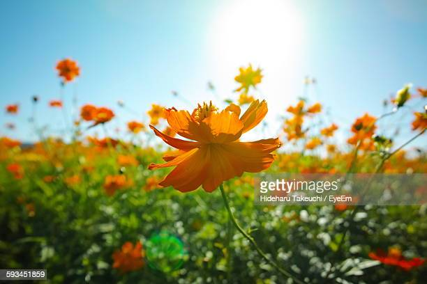 Close-Up Of Fresh Orange Cosmos Flower In Field Against Sky