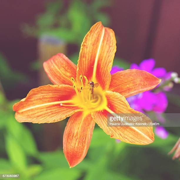 Close-Up Of Fresh Orange Day Lily Blooming In Garden