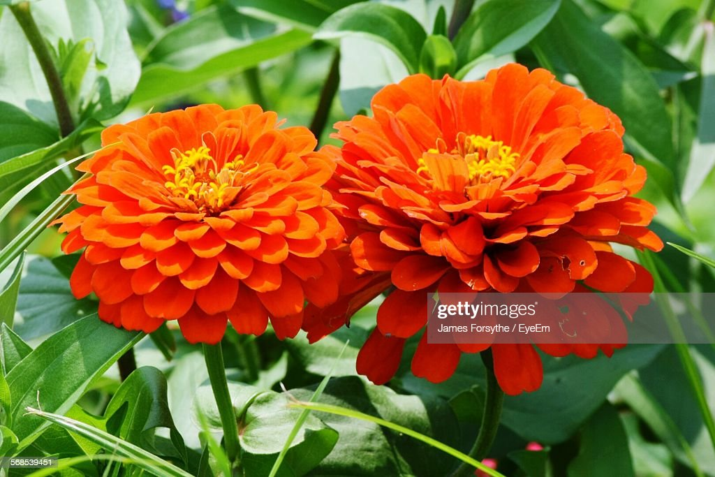 Close-Up Of Fresh Orange Flowers Blooming In Garden : Stock Photo