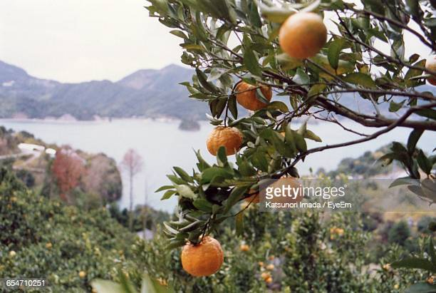 close-up of fresh oranges on twigs at orchard - orange orchard stock photos and pictures