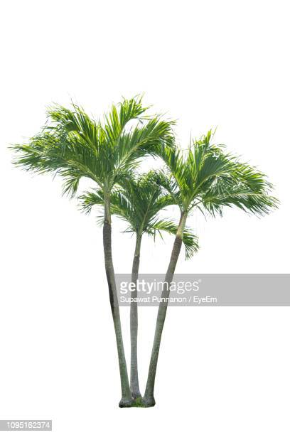 close-up of fresh palm trees against white background - palm tree stock pictures, royalty-free photos & images
