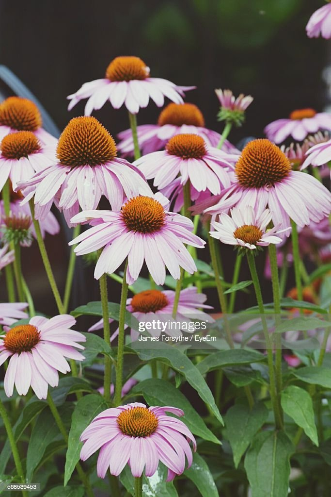 Close-Up Of Fresh Pink Coneflowers Blooming In Park : Stock Photo
