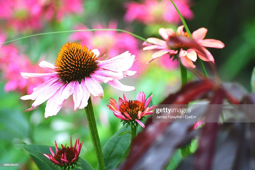 Close-Up Of Fresh Pink Coneflowers Blooming In Park : ストックフォト