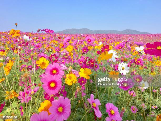 Close-Up Of Fresh Pink Cosmos Flowers Blooming In Field Against Clear Sky