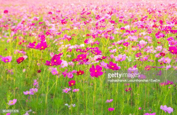 close-up of fresh pink cosmos flowers in field - cosmos flower stock photos and pictures