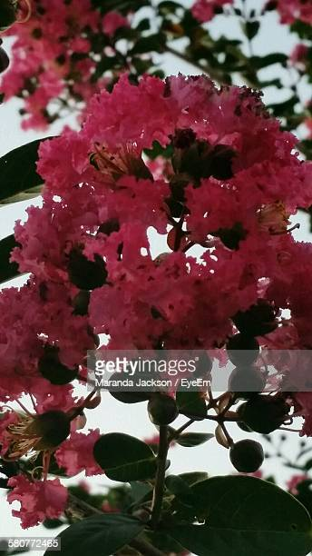 Close-Up Of Fresh Pink Crepe Myrtle Tree In Park