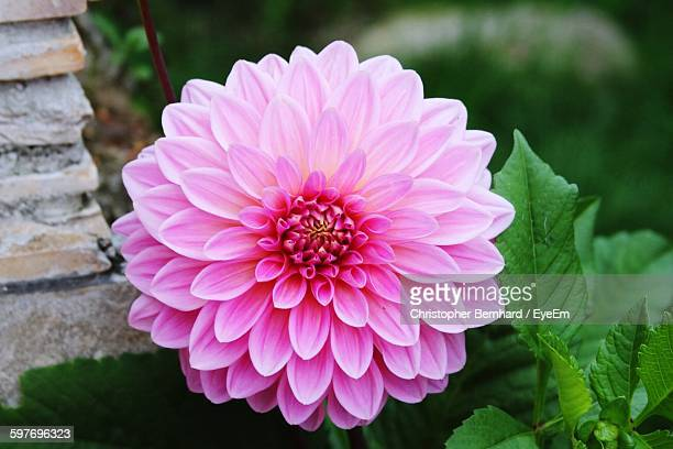 Close-Up Of Fresh Pink Dahlia Blooming In Garden