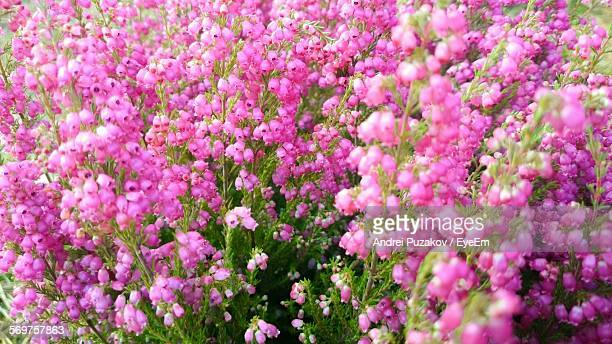 Close-Up Of Fresh Pink Erica Flowers Blooming In Garden
