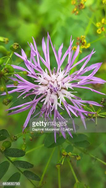 close-up of fresh pink flower - mcconnell stock pictures, royalty-free photos & images
