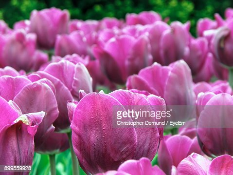 Closeup of pink flowers blooming outdoors stock photo getty images keywords mightylinksfo Gallery