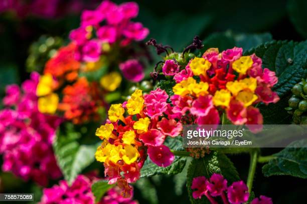 close-up of fresh pink flowers blooming in park - lantana stock pictures, royalty-free photos & images