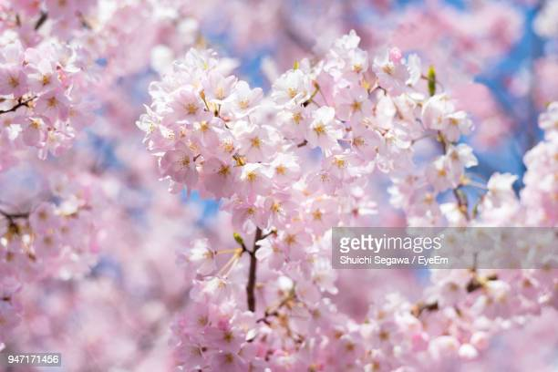 close-up of fresh pink flowers blooming on tree - 桜 ストックフォトと画像