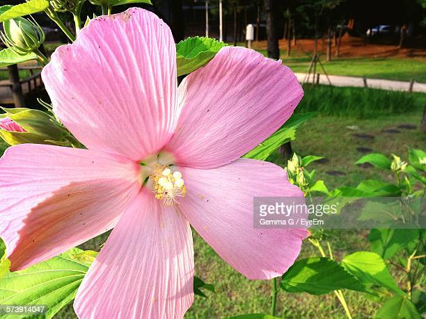 Close-Up Of Fresh Pink Hibiscus Blooming In Park