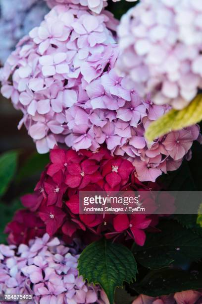 Close-Up Of Fresh Pink Hydrangea Blooming Outdoors