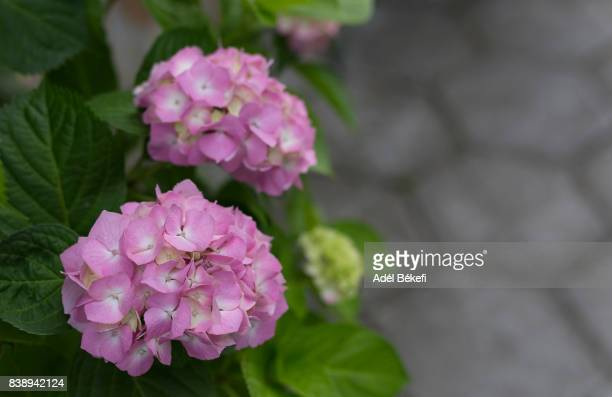 Close-Up Of Fresh Pink Hydrangeas