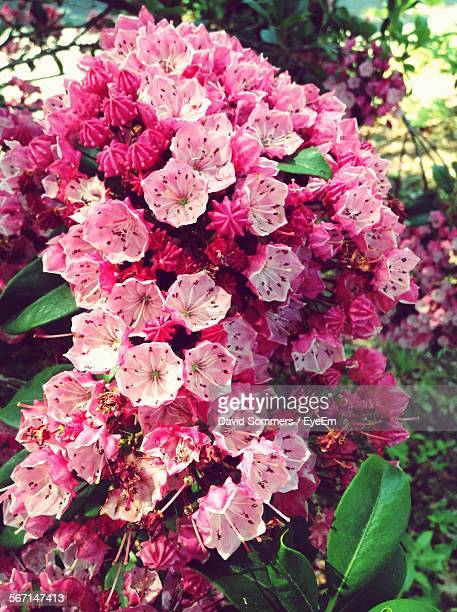 close-up of fresh pink mountain laurel blooming in park - mountain laurel stock pictures, royalty-free photos & images