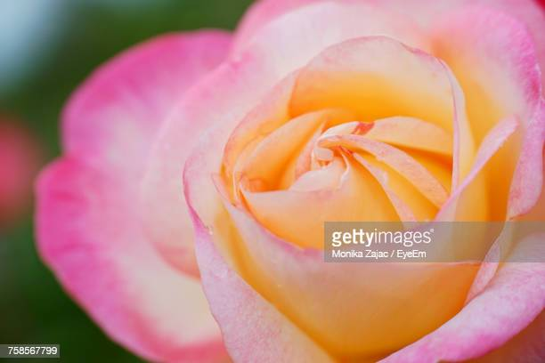 Close-Up Of Fresh Pink Rose Blooming Outdoors