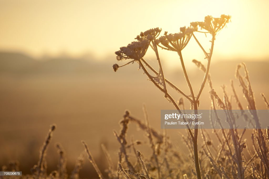Close-Up Of Fresh Plants Against Sky During Sunset : Stockfoto