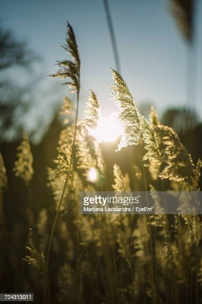 close-up of fresh plants against sky during sunset - marijana stock pictures, royalty-free photos & images