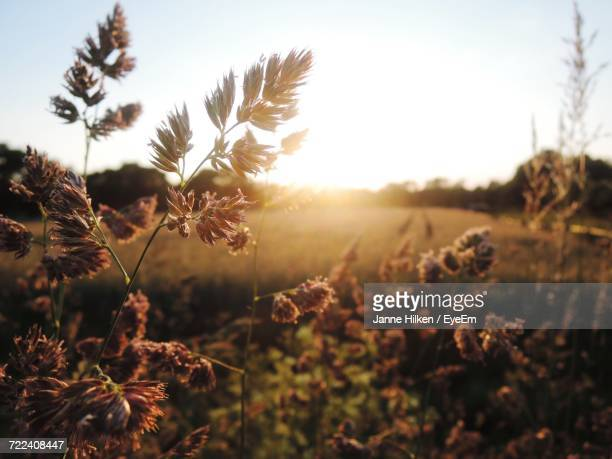 Close-Up Of Fresh Plants In Field Against Sky At Sunset