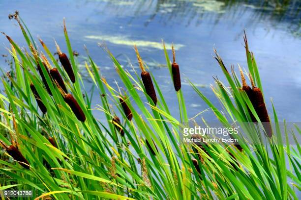 Close-Up Of Fresh Plants In Lake