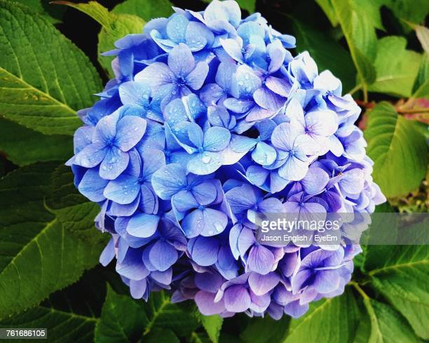 Close-Up Of Fresh Purple Hydrangea Blooming Outdoors