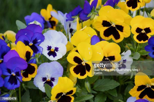 close-up of fresh purple yellow flowers blooming in garden - pansy stock pictures, royalty-free photos & images