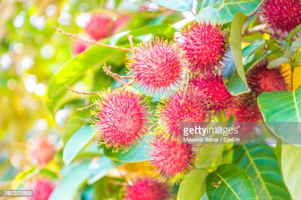 Close-Up Of Fresh Rambutans Growing On Tree