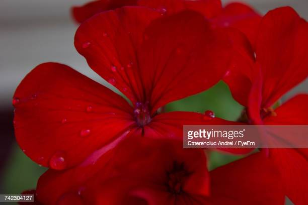 Close-Up Of Fresh Red Hibiscus Blooming In Water